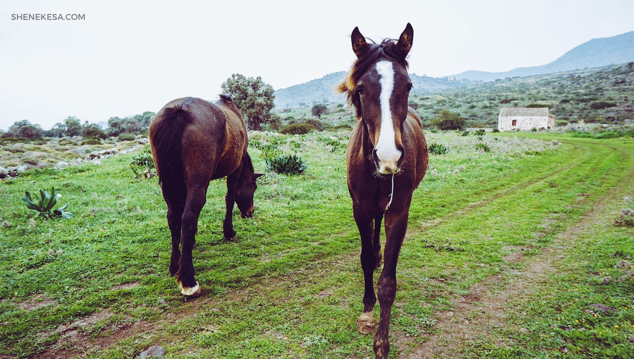 Aegina, horses